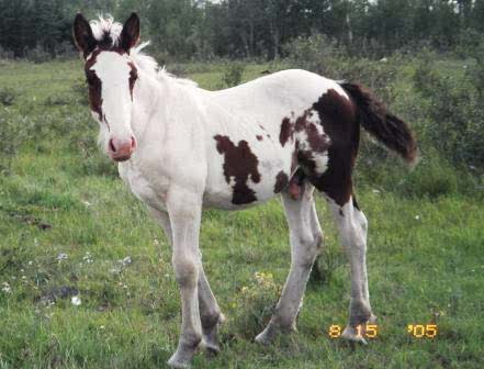 paint clydesdale - photo #21